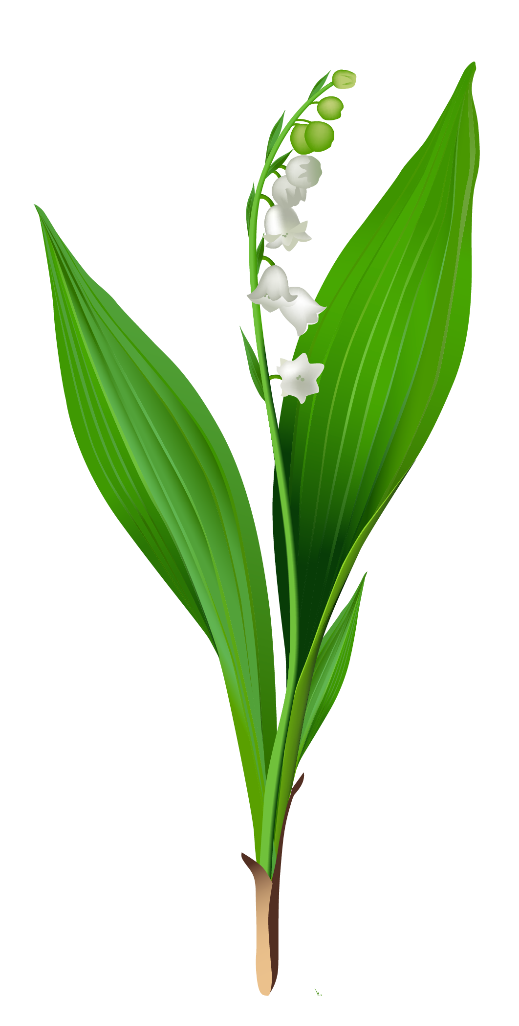 picture library Spring lily of the. Valley clipart