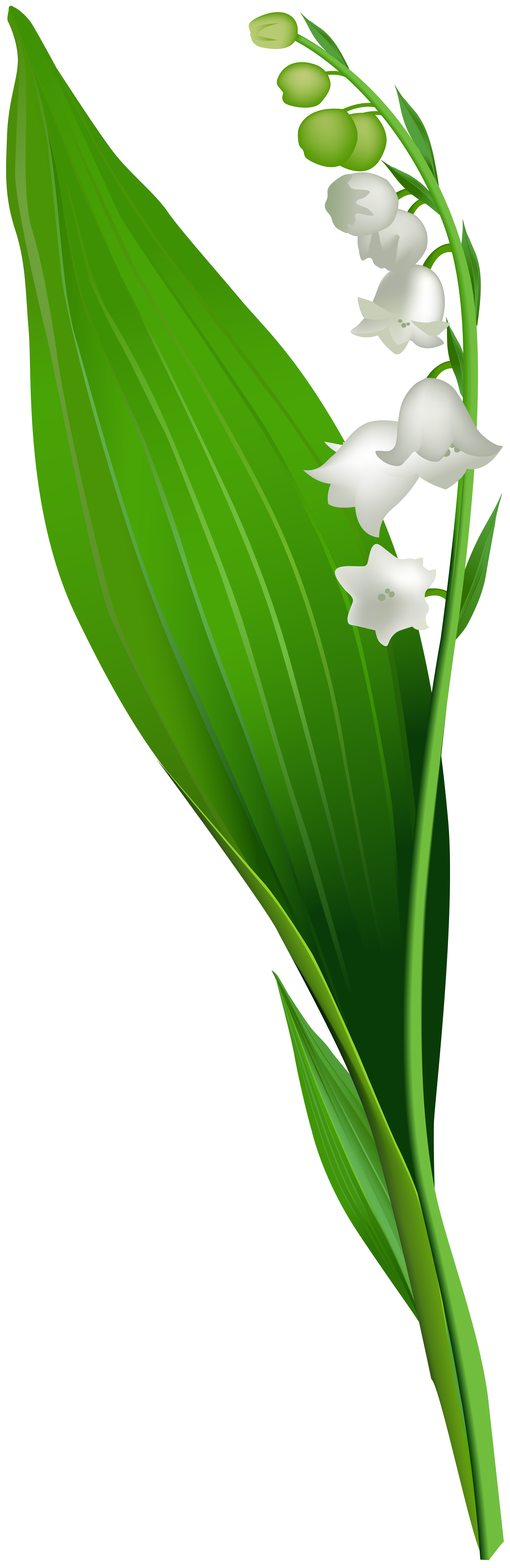 clip art download Lily of the flower. Valley clipart