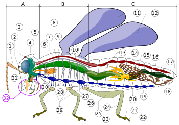 png freeuse Vector born wikipedia. Insect morphology from