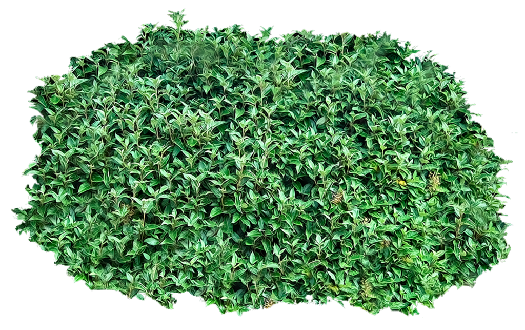 free Vector bushes boxwood.  hedge png for.