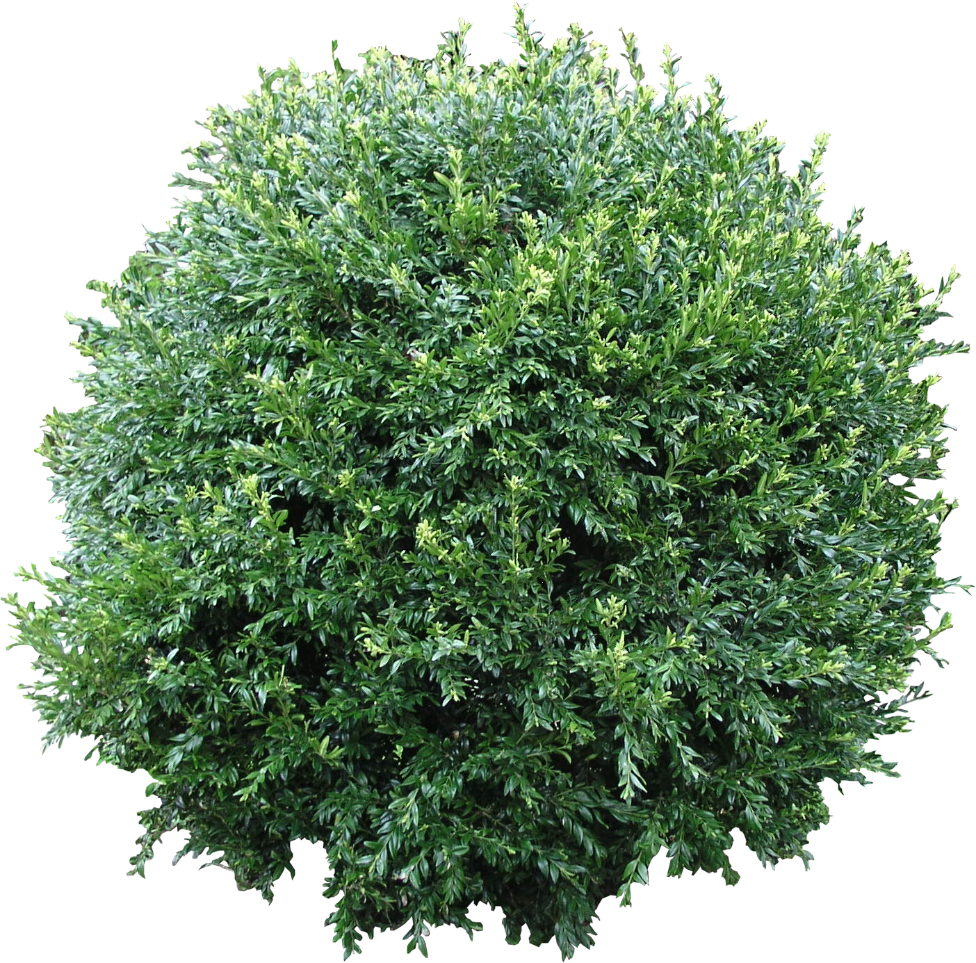 picture black and white library  hedge png for. Vector bushes boxwood
