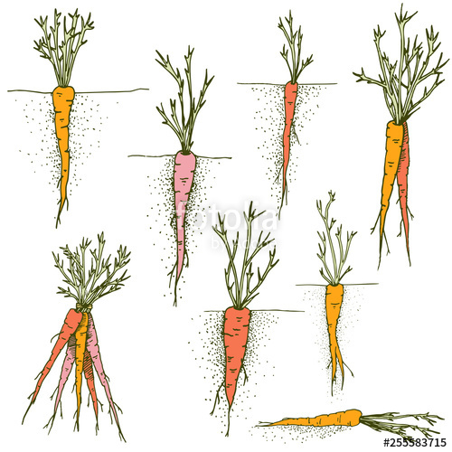 image free library Vector carrot hand drawn. Carrots clip art set
