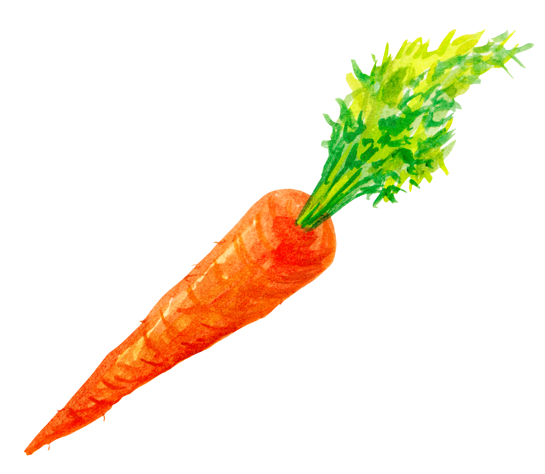 image free stock Vegetable painted carrots transprent. Vector carrot hand drawn