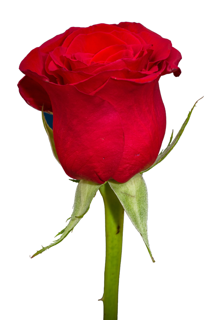 clip download Free png transparent image. Vector coffee rose