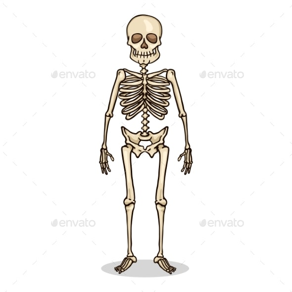 picture royalty free library Vector color human. Cartoon character skeleton