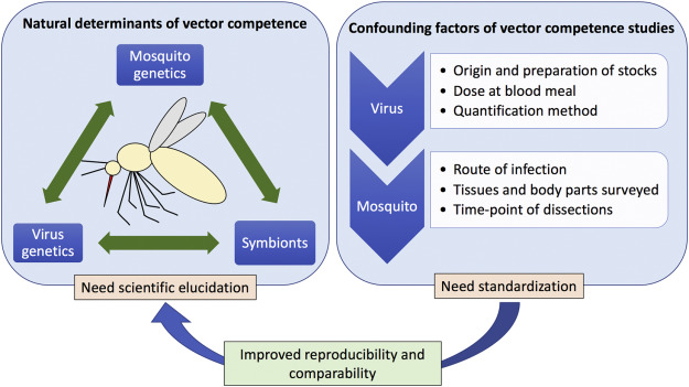 free stock Vector competence. Aedes aegypti studies a