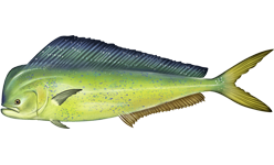 banner freeuse stock Wikipedia . Vector dolphin mahi