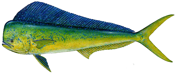 clip art free Vector dolphin mahi. South padre island fish