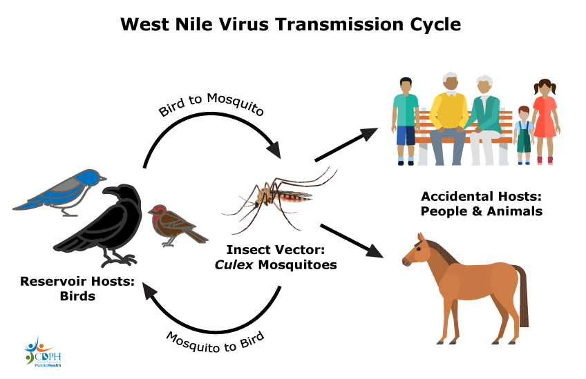 image freeuse The California Department of Public Health West Nile Virus Website