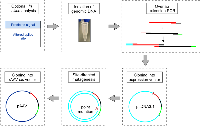 png transparent stock Construction and Cloning of Minigenes for in vivo Analysis of