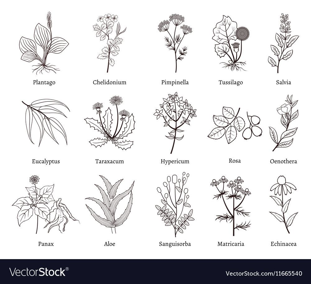 svg transparent download Medicinal herbs and plants. Vector plant doodle