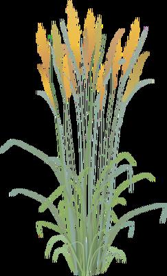 svg free stock Vector bushes grass. Sorghastrum nutans indian illustration