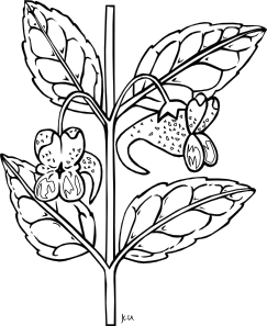 png transparent Ku Impatiens Capensis Outline Clip Art at Clker