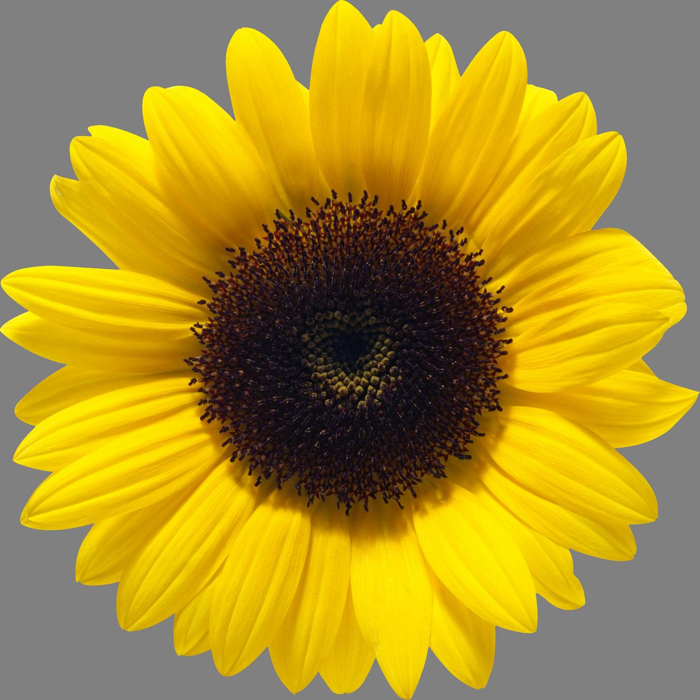 image black and white transparent sunflowers hi res #117466038