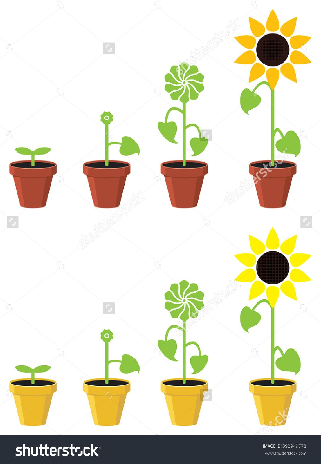 vector transparent download Growth stages concept . Vector sunflower plant.