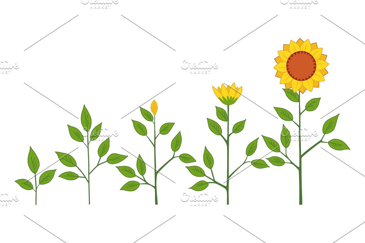 png black and white download Growth stages . Vector sunflower plant.