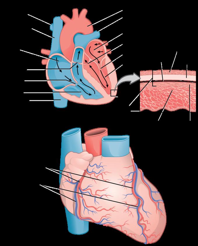image download Mammalian Heart and Blood Vessels
