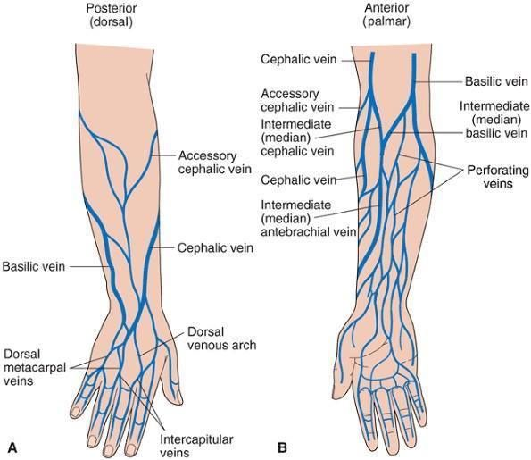 clip art freeuse stock GREAT diagram on upper extremity venipuncture sites