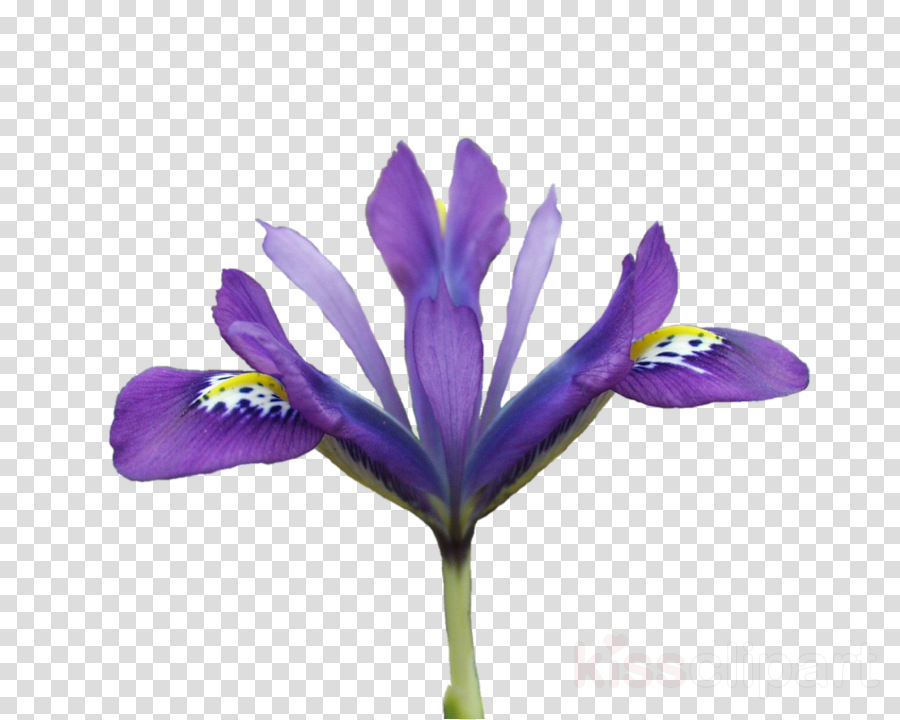 vector free library Flowering purple . Violet clipart flower plant