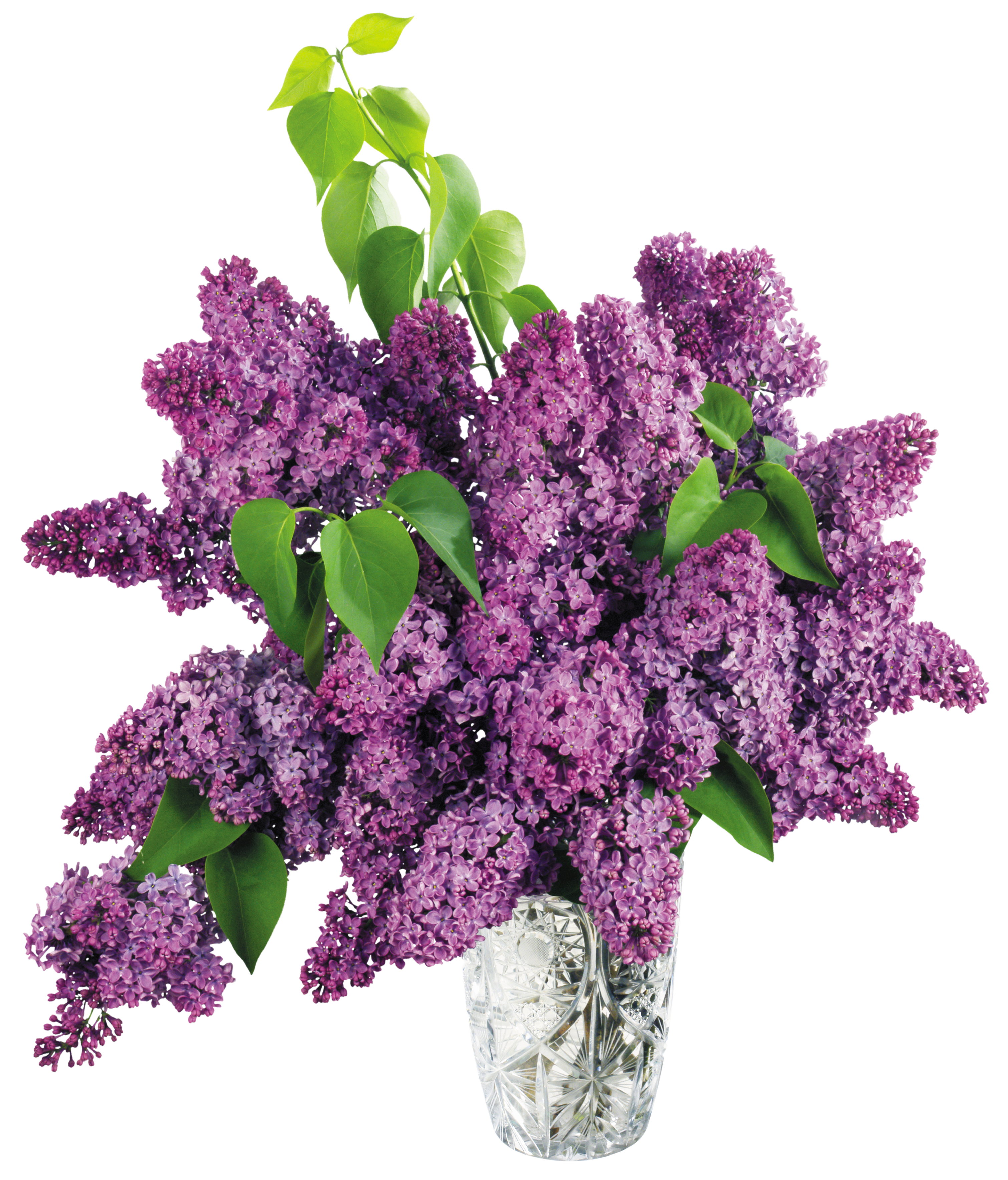 graphic library stock With purple lilac png. Violet clipart vase