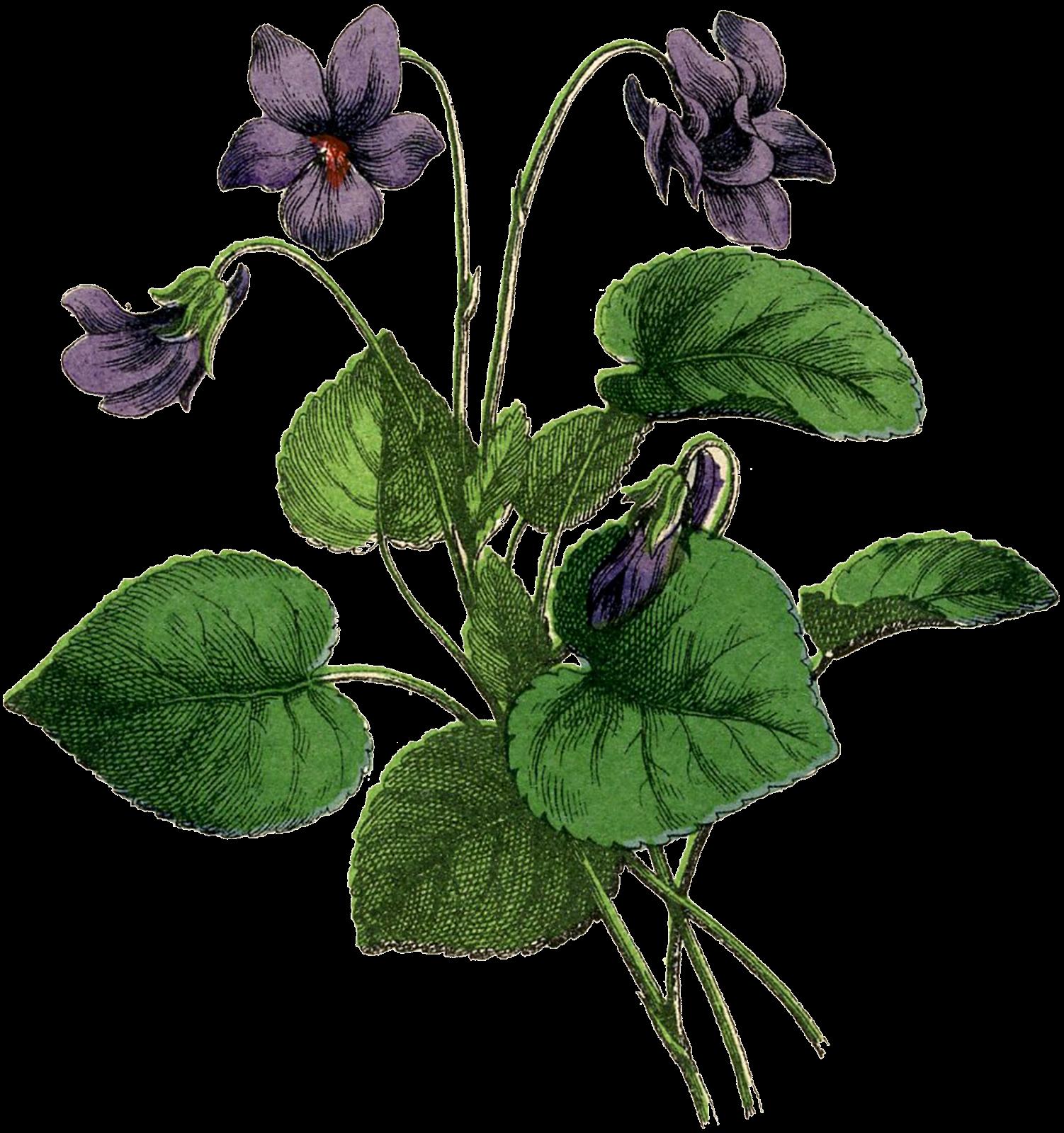 svg free stock African botanical illustration vintage. Violets drawing