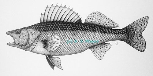 png freeuse library Walleye drawing. Fish x matted print.