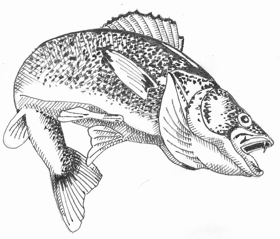 png transparent library Walleye drawing. .