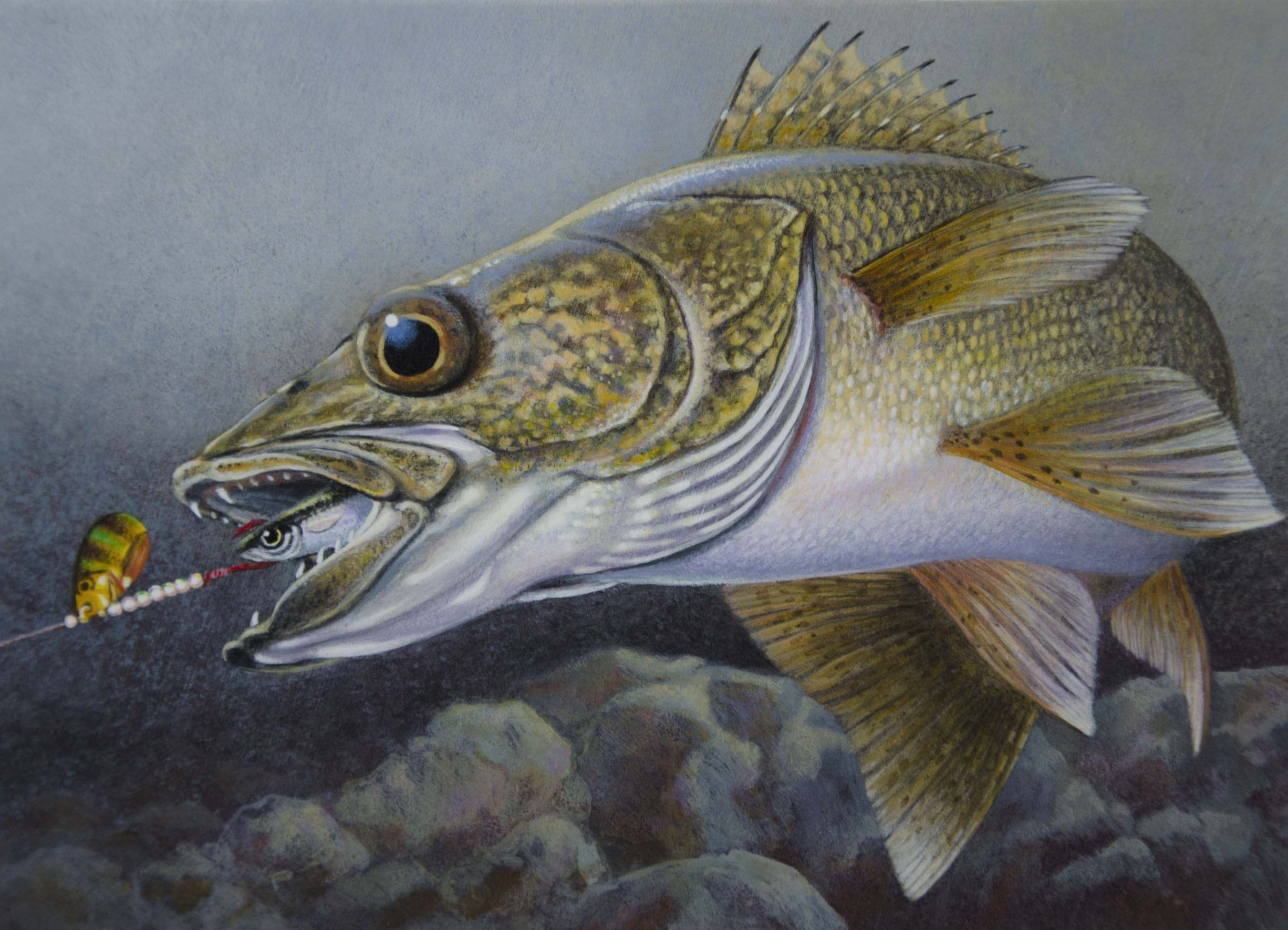 clipart library stock Drawings painting of a. Walleye drawing.