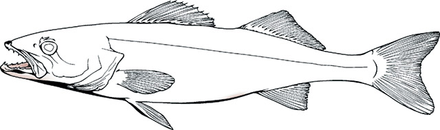 picture library library walleye drawing drawn #149326890