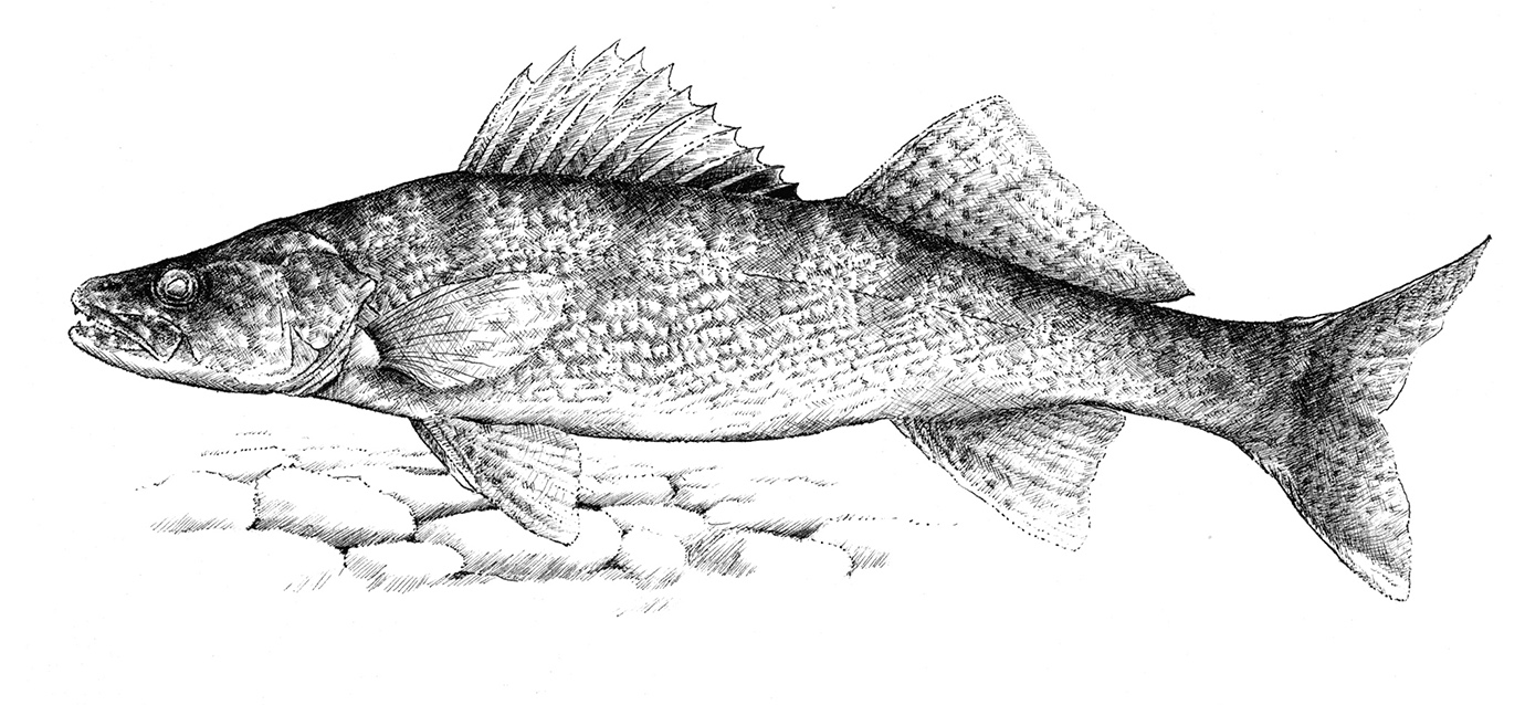graphic royalty free Walleye Sketch at PaintingValley