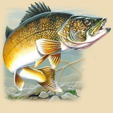 png download Walleye Swimming