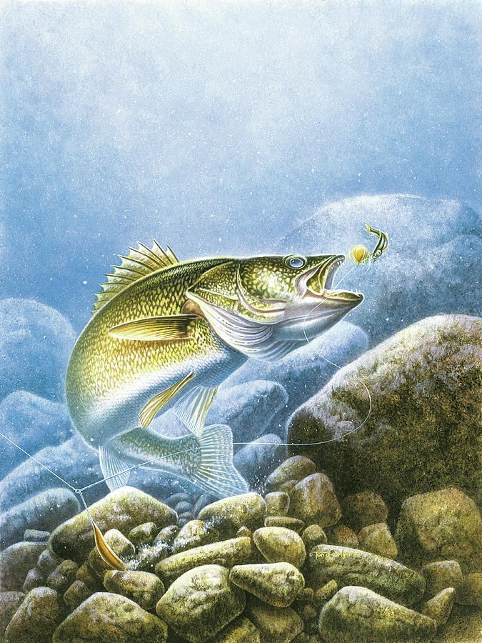 transparent library Lindy Walleye