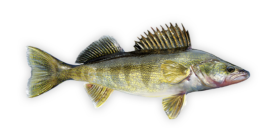 png library download Walleye