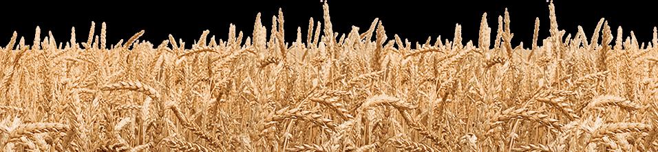vector royalty free Grass clip art black. Wheat field clipart