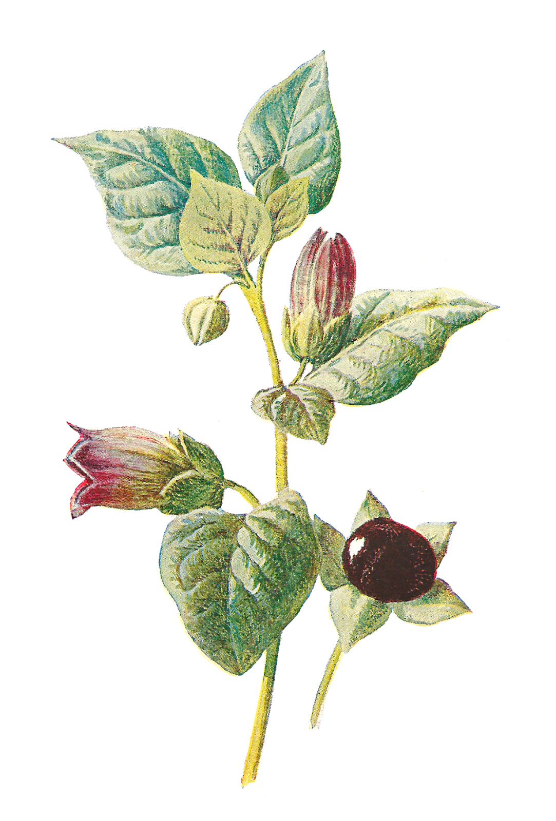 clip art free library Wildflower clipart. Antique images deadly nightshade