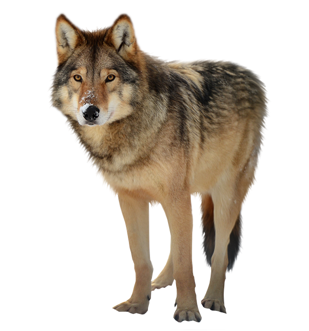 vector transparent stock Image free picture download. Wolf clipart png