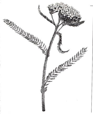 vector freeuse library yarrow drawing medicinal #149451129