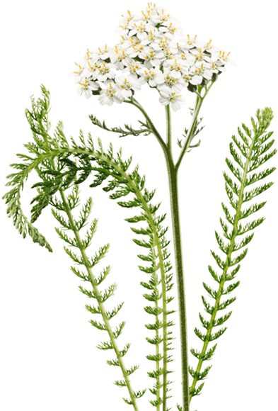 picture royalty free library yarrow drawing valerian plant #118997437