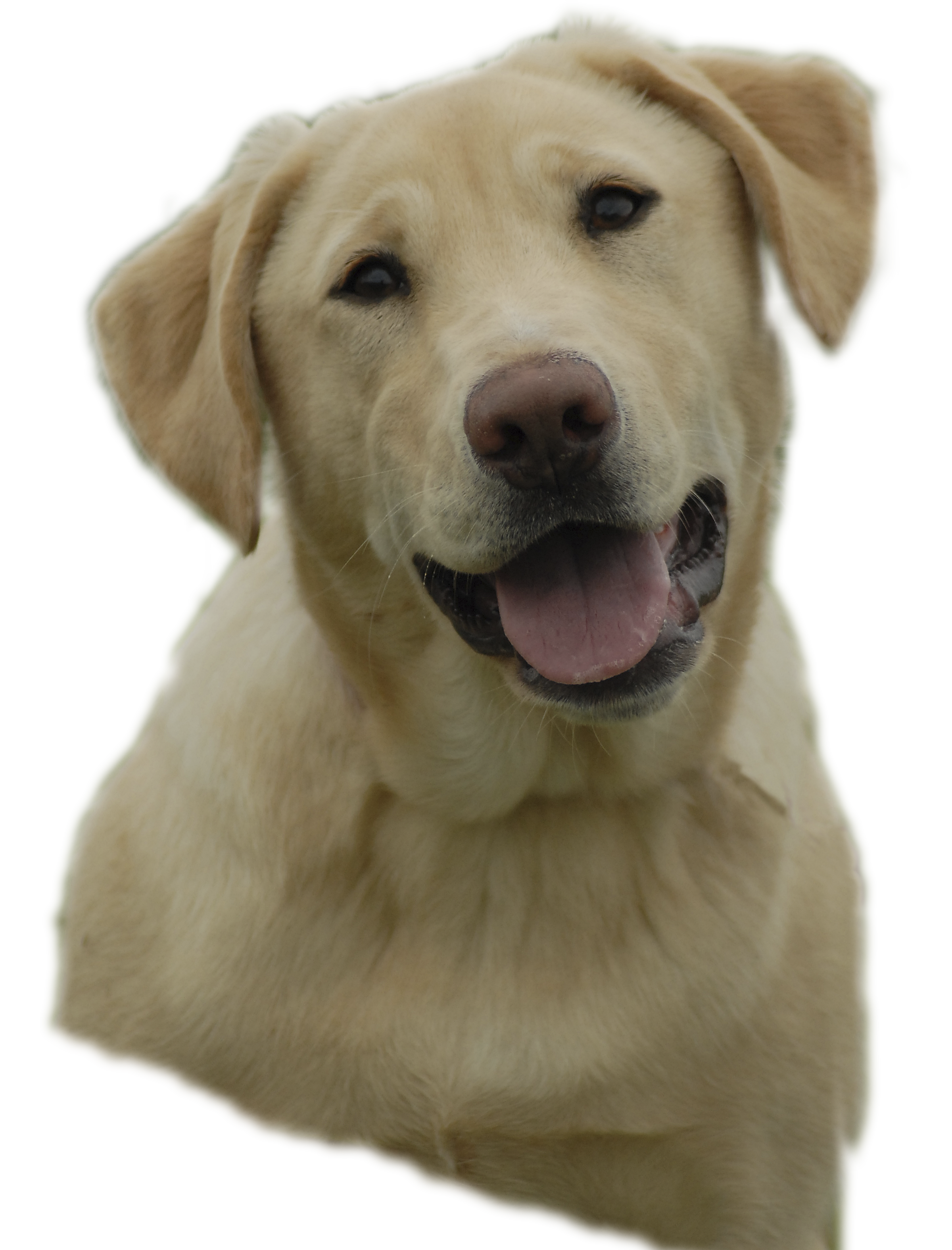 clip art transparent library Yellowlab free images at. Yellow lab clipart