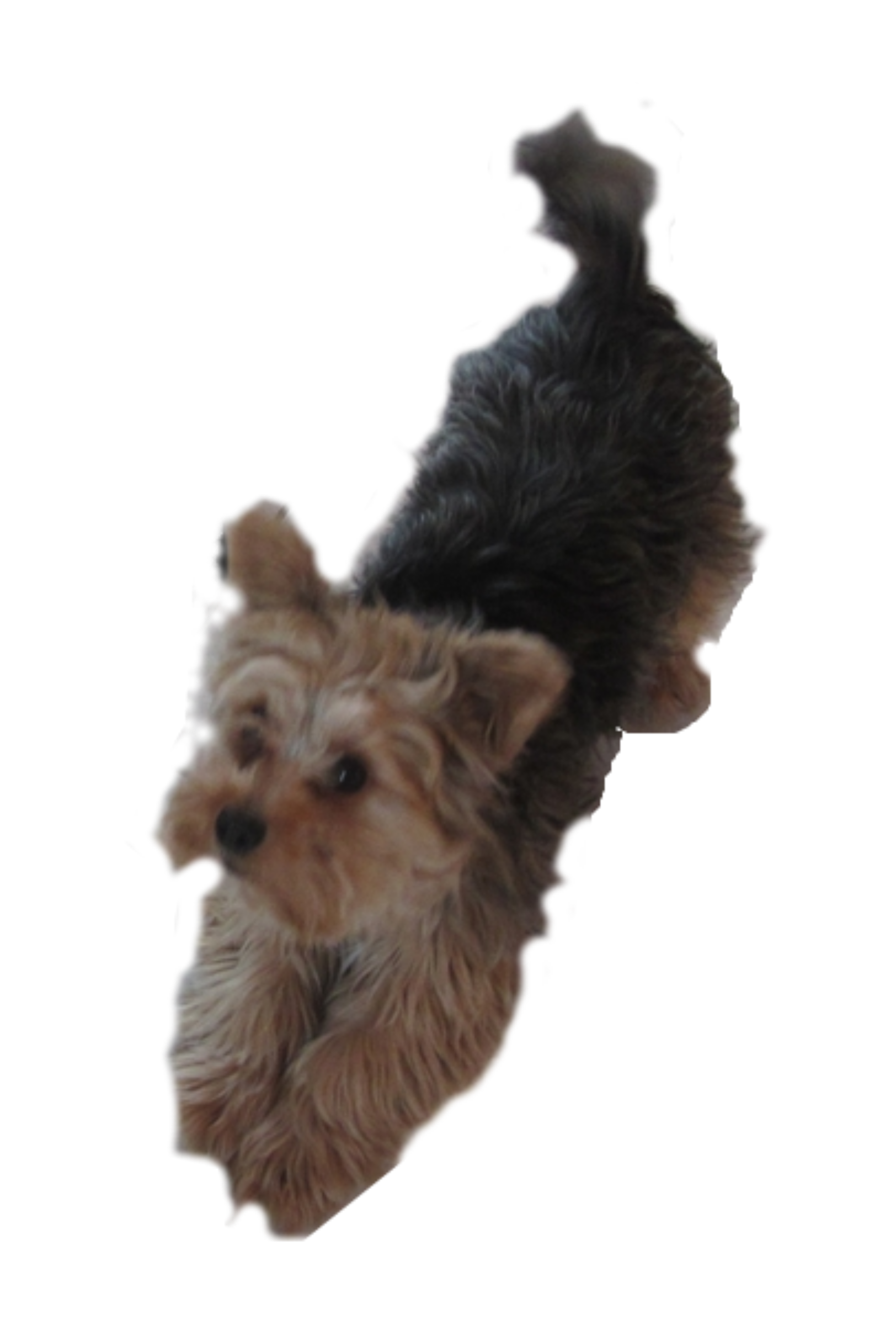 clip transparent download Yorkie clipart. Dog pleading big image.