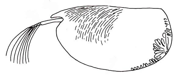 graphic black and white stock Ostracoda university of tasmania. Zooplankton drawing ostracod